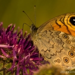 Lasiommata maera - Rotsvlinder
