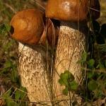 Leccinum albostipitatum - Oranje populierboleet