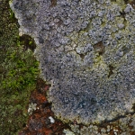 Lecidea fuscoatra - Gewone Granietkorst