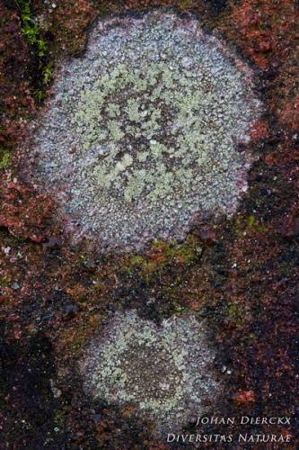 Lecidella scabra - Grijsgroene Steenkorst