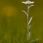 Leontopodium alpinum - Edelweiss
