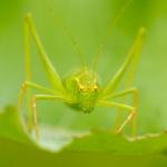 Leptophyes punctatissima - Struiksprinkhaan