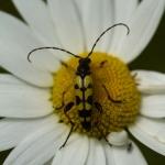 Leptura maculata - Geringelde Smalboktor