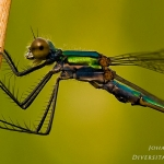Familia Lestidae - Pantserjuffers