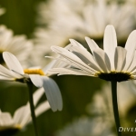 Leucanthemum vulgare - Gewone margriet