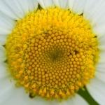Familia Asteraceae - Composietenfamilie