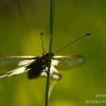 Familia Ascalaphidae - Vlinderhaften