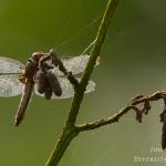 Libellula fulva - Bruine korenbout