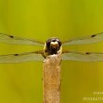 Libellula quadrimaculata - Viervlek