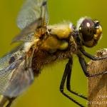 Familia Libellulidae - Korenbouten