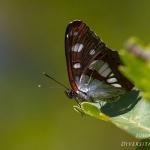 Limenitis reducta - Blauwe ijsvogelvlinder