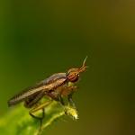 Ordo Diptera - Tweevleugeligen