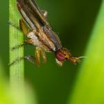 Limnia unguicornis