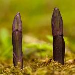 Limodorum abortivum - Paarse aspergeorchis