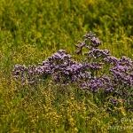 Familia Plumbaginaceae - Strandkruidfamilie