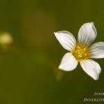 Linum catharticum - Geelhartje
