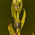 Lithospermum officinale - Glad parelzaad