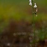 Lobelia dortmanna - Waterlobelia