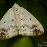 Lomographa temerata - Witte schaduwspanner