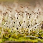 Familia Geocalycaceae - Terpentijnmosfamilie