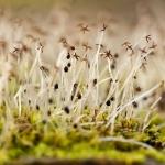Lophocolea heterophylla - Gedrongen kantmos