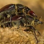 Lucanus cervus - Vliegend Hert