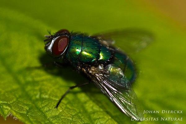 Lucilia sericata - Groene vleesvlieg