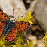 Lycaena alciphron - Violette vuurvlinder