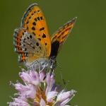 Lycaena helle - Blauwe vuurvlinder