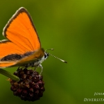 Lycaena hippothoe - Rode vuurvlinder