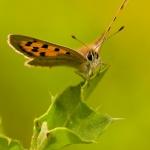Lycaena phlaeas - Kleine vuurvlinder