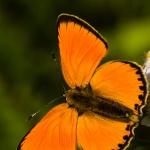 Lycaena virgaureae - Morgenrood