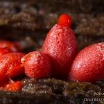 Lycogala conicum - Dwergboomwrat