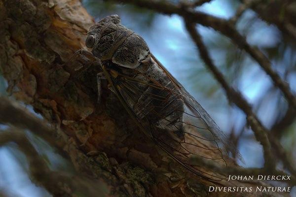 Lyristes plebejus - Provencaalse cicade