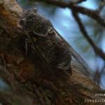 Famillia Cicadidae - Zangcicaden