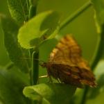 Macaria brunneata - Bosbesbruintje