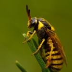 Familia Diprionidae - Dennenbladwespen