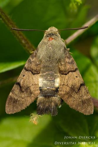 Macroglossum stellatarum - Kolibrievlinder