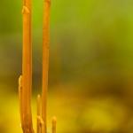 Macrotyphula fistulosa - Pijpknotszwam