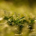 Maianthemum bifolium - Dalkruid