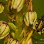 Familia Malachiidae - Bastaardweekschildkevers