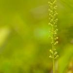 Malaxis monophyllos - Eénblad
