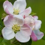 Malus sylvestris - Appel