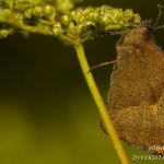 Maniola jurtina - Bruin zandoogje