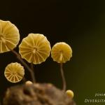 Marasmius rotula - Wieltje