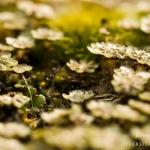 Marchantia polymorpha - Parapluutjesmos