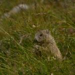 Marmota marmota - Alpenmarmot