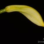 Masdevallia coccinea f. alba