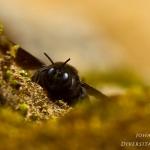 Megachile parietina - Zwarte metselaar