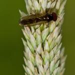 Melanostoma scalare - Slanke Driehoekzweefvlieg